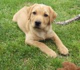 Labrador-Welpen blond 4 Mon. zuckersüß - Bassum