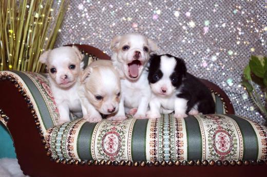 Süße Chihuahua Welpen abzugeben
