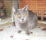 Chartreux - Ovelgönne