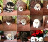 Pomeranian Babys - Sulingen