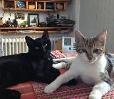 4 Katzen, 8 Mon., - Bremen
