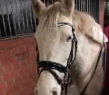 Talentierte G- Pony Stute - Martfeld