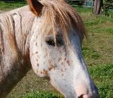 Appaloosa Pony Stute - Rehden