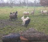 Skudden Schafe  zu verkaufen - Wardenburg