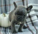 Französische Bulldoggen Welpen abgabebereit - Cuxhaven