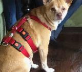Dodo, kleiner Chihuahua Mischling, sucht ein Zuhause - Delmenhorst