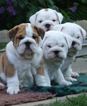 Englisch Bulldog Welpen zu verkaufen - Bremen
