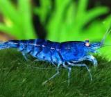Blue Tiger Orange Eye Garnelen - TOP Farbe - Schönes Blau - Wagenfeld