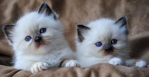 Reinrassige Ragdoll Kitten- die mit den blauen Augen, kinderliebe Familienkatzen