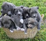 American Pities Bull Terrier Welpen - Butjadingen