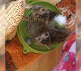 Wunderschönes Bengal Kitten zu verkaufen - Lohne (Oldenburg)