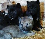 Wolfhund - Wolfshunde - AWH - Sottrum
