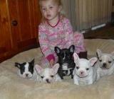 Französische Bulldogge Wir haben Nachwuchs ! - Rehden