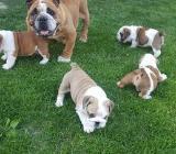 Englisch Bulldog Welpen zu verkaufen - Cuxhaven
