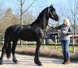 Traum in Schwarz Friesen pferde mit KFPS Papier - Berne
