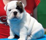 Englisch Bulldog Welpen - Berne