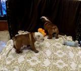 Wir haben eine schön männlich und weibliche Englischer Bulldogge - Berne