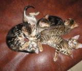 Traumhaft schöne Bengal Kätzchen - Rehden