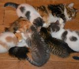 Sibirer Kitten mit Stammbaum suchen neues Zuhause - Wangerland