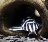 Zebra Harnischwels - Hypancistrus zebra - L46 - 3,4-3,6cm - Wagenfeld