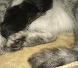 BKH Kitten Black Smoke - Großenkneten