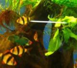 Sumatrabarben - Puntigrus cf. tetrazona - Top gefärbt und Top Fit - Wagenfeld