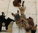 Französische Bulldogge - Welpen, männlich, weiblich - Bremen Gröpelingen