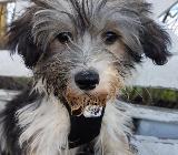 Chinesischer Schopfhund - Rastede