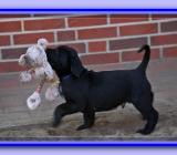 5 süße  Labradorwelpen suchen noch ihre allerliebste Familie - Lastrup