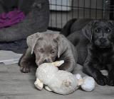 Labrador Welpen in silber und charcoal - 8 Wo. - abgabebereit - Rehden