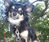 Ein sehr liebervoller Chihuahua Rüde sucht noch sein Platz - Langwedel (Weser)