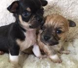 Süsse Chihuahuawelpen mit Ahnentafel - Bremen