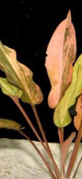 Aquariumpflanze Wasserkelch - Cryptocoryne - Wagenfeld