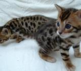 Wunderschöne reinrassige Bengal Kätzchen  suchen ein Zuhause liebenswert. - Wildeshausen