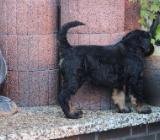 Russ.Schwarze Terrier Welpen - Sudwalde