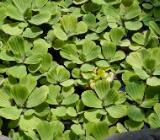Aquariumpflanze Muschenblume - Pistia stratiotes - Wagenfeld