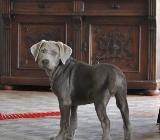 Ole & Franko: 2 Labrador Welpen in silver & charcoal - 13 Wochen alt - Rehden