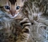 Bengal Kater Kitten Bengalkater - Holdorf