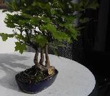 Bonsai-Sammlung für Liebhaber - Achim