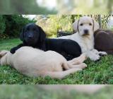 Süße Labrador-Retriever- Mix Welpen - Jade