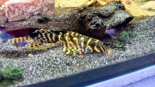 Gelber Zebrawels - Yellow Zebra - Hypancistrus sp. L401 - 5-6cm - Wagenfeld