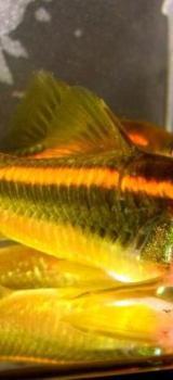 Corydoras Red Stripe - Panzerwelse Orange Laser - SEHR SELTEN - Wagenfeld