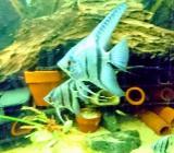 """Tolle Blaue """"Blue Shine"""" Skalare - Pterophyllum scalare - ca. 3-4cm - Wagenfeld"""