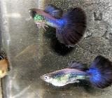 Blue Halfmoon Guppys abzugeben - Perfekte Färbung - ca. 2,5-3cm - Wagenfeld