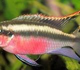 Pelvicachromis pulcher - Purpurprachtbarsche - Wagenfeld