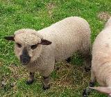 Shropshire  Bock Lamm - Rastede