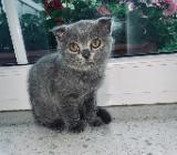 Reinrassige Britisch Kurzhaar Kitten abzugeben - Ottersberg