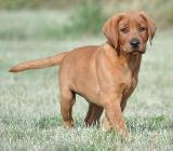 Labrador Welpen in foxred & charcoal - 11 Wochen alt - mit Papieren - abgabebereit - Rehden