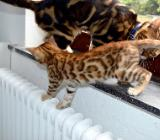 letzte Bengal Kitten - Bremen