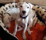 Hunde welpe Argentino - Oldenburg (Oldenburg)
